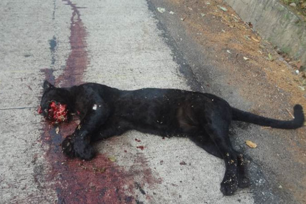 A black panther or melanistic leopard meets its end as roadkill. Photo by: KFD Honnavar Division.