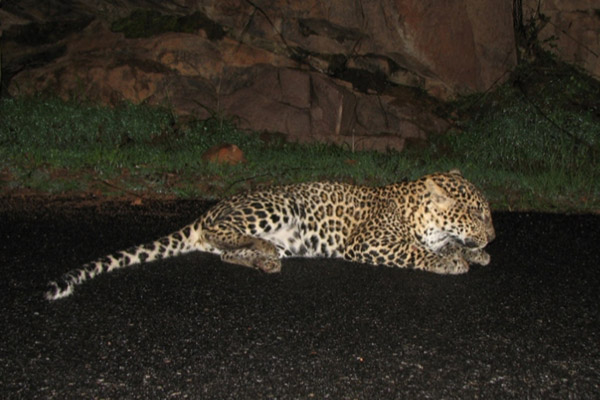 A leopard dying from being hit by vehicle. Photo by: Rajesh MS.