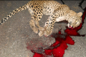 A leopard killed on the roadside by a vehicle. Photo by: Karnataka Forest Department.