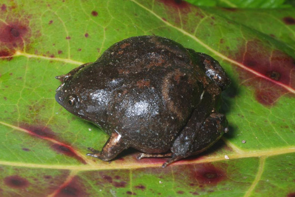 A new species of frog found only on Woodlark Island: Barygenys apodasta. Photo by: Fred Kraus.