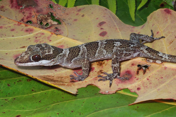 A gecko only found on Woodlark Island: Cyrtodactylus murua. Photo by: Fred Kraus.