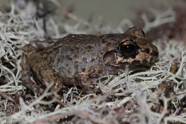 Potentially new frog in the genus Oreobates. This species has no larval stage. Photo by: Luis Mamani.