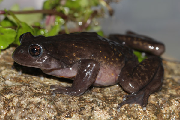 Potentially new frog in the genus Telmatobius. This species is almost entirely aquatic. Photo: Luis Mamani.