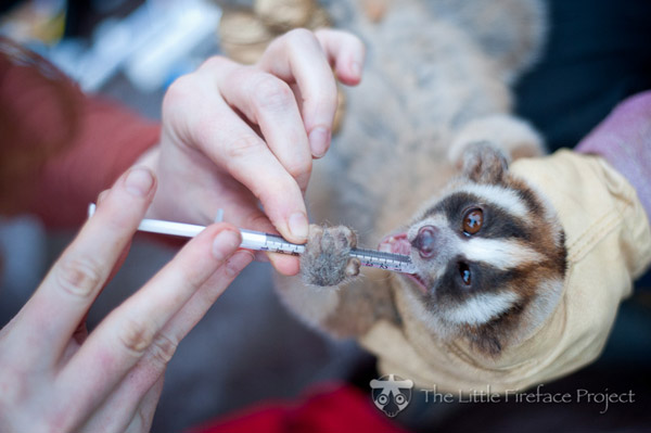 Scientists collecting venom from a slow loris for study. Photo by: Andrew Walmsley.