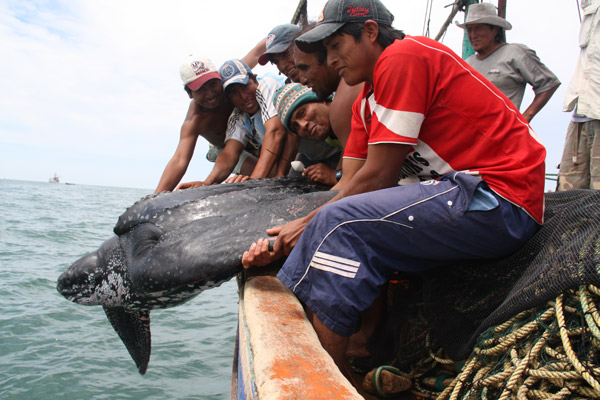 Releasing a leatherback sea turtle back in the sea. Photo by: ProDelphinus.