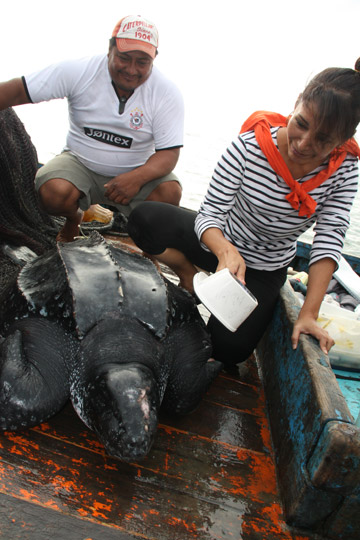Joanna Alfaro Shigueto with leatherback sea turtle, a species that is at risk of bycatch. Photo by: ProDelphinus.