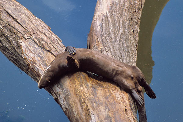 Giant river otter sleeping in the sun. Photo by: Frank Hajek.