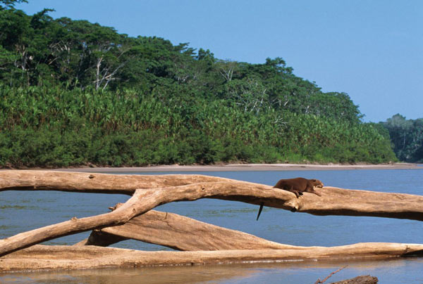 Giant river otter in a typical landscape in beautiful Manu National Park. Photo by: Frank Hajek.