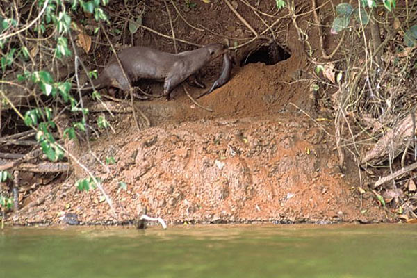 Giant river otter carrying a cub back to the den. Photo by: Frank Hajek.