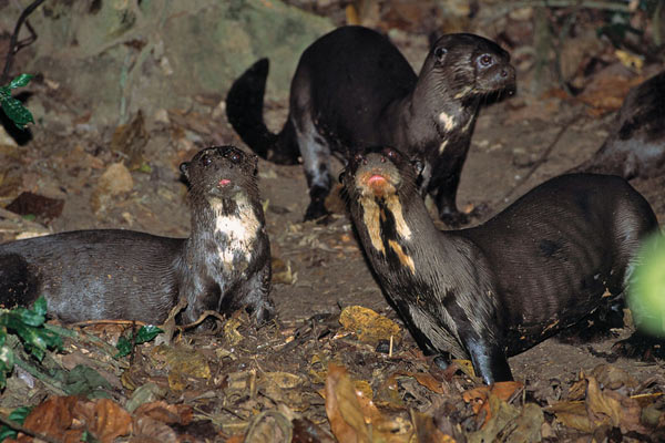 Otters on a latrine. Photo by: Frank Hajek.
