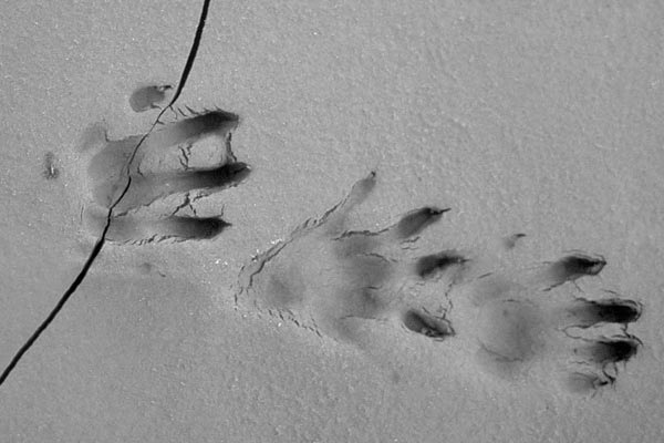 Giant river otter footprints. Photo by: Frank Hajek.