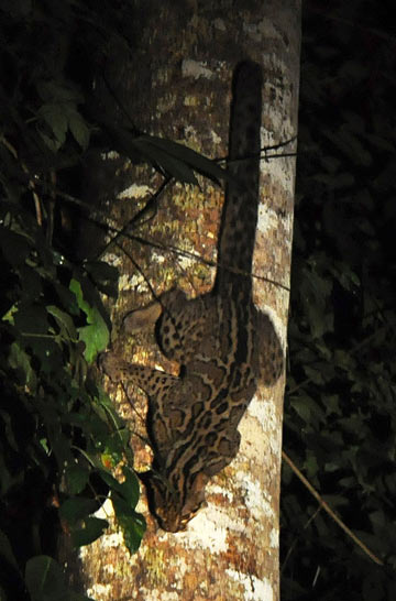 This marbled cat in Malaysian Borneo is at home in the trees. Extensive use of trees makes getting accurate counts of some small cats more difficult. Photo by: Johan Embréus.