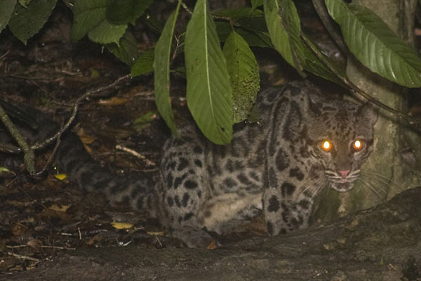A Sunda clouded leopard near the lower Kinabatangan River in Sabah, Malaysian Borneo. Photo by: Paulo Philippidis.