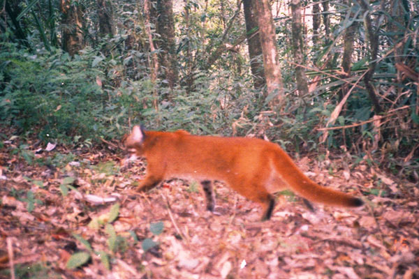Asiatic golden cat in Myanmar. Photo by: WCS Myanmar Program.