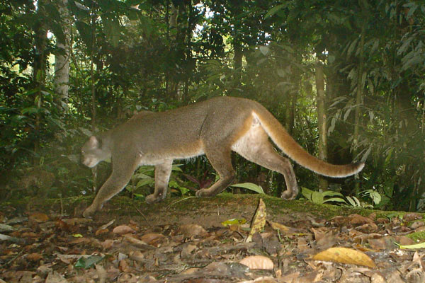 A bay cat in Borneo. Photo by: Andrew Hearn and Jo Ross.