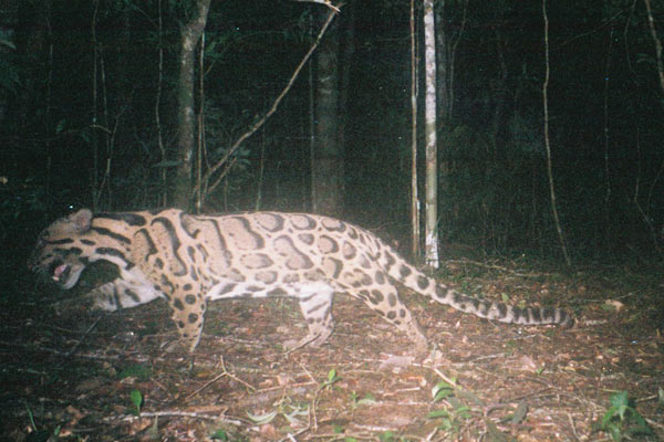 Mainland clouded leopard in Thailand. Photo by: Kate Jenks.