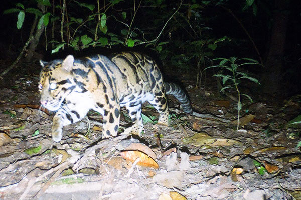 A mainland clouded leopard in Thailand. This is the region's third biggest cat after the tiger and leopard. Photo by: Wanlop Chutipong.