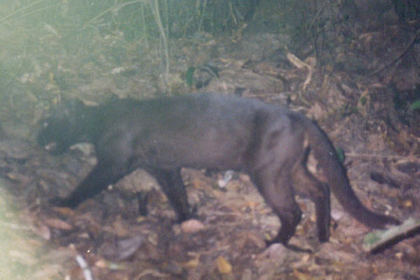 Little panther? A melanistic form of the Asiatic golden cat in Myanmar. Photo by: WCS Myanmar Program.