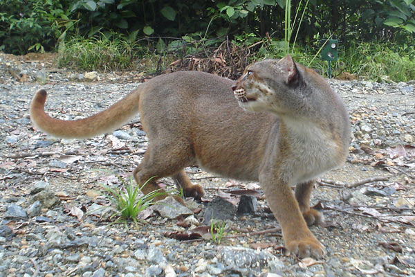 The bay cat: only found in Borneo this cat has long eluded scientists until recently. Photo by: Andrew Hearn and Jo Ross.