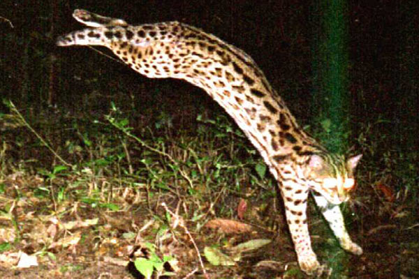 The acrobatic leopard cat gamboling in front of the camera. This species is the least endangered of Southeast Asia's cats. Photo by: Ronglarp Sukmasuang.