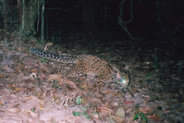 A marbled cat in Thailand. Photo by: Kate Jenks.