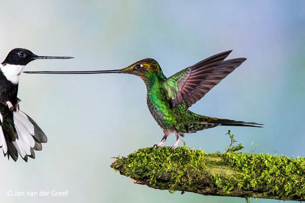 En garde! This photo of the aptly-named sword-billed hummingbird fending off a collared inca hummingbird in Ecuador was named a finalist in the Birds category. Photo by: Jan van der Greef / Wildlife Photographer of the Year 2014.