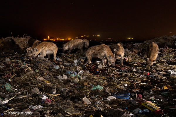 A pack of hyenas scavenging a garbage dump in urban Mekelle in Ethiopia was a finalist in the World In Our Hands category. Photo by: Karine Aigner / Wildlife Photographer of the Year 2014.