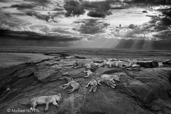 This photo of slumbering lions has won Michael 'Nick' Nichols the much-coveted Wildlife Photographer of the Year Title. Photo by: Michael 'Nick' Nichols / Wildlife Photographer of the Year 2014.