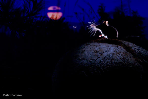 This photo was made for alliteration: a mouse on a mushroom meets a mosquito with the moon behind. This photo, shot in Montana, won the Mammals category. Photo by: Alexander Badyaev / Wildlife Photographer of the Year 2014.
