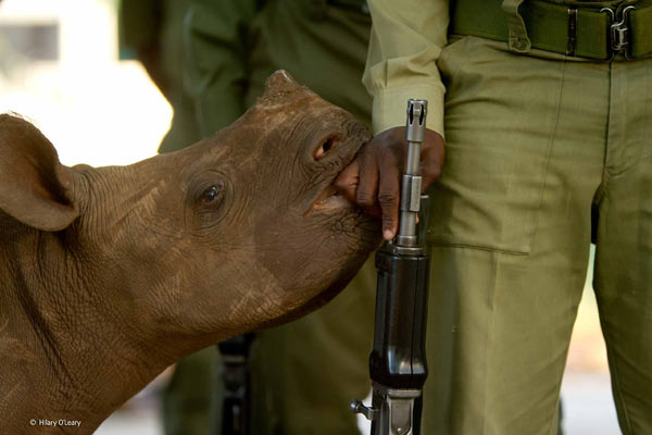 The photo of an orphaned black rhino cuddling up to a wildlife ranger in Zimbabwe was a finalist in the People's Choice Award. Photo by: Hilary O'Leary / Wildlife Photographer of the Year 2014.