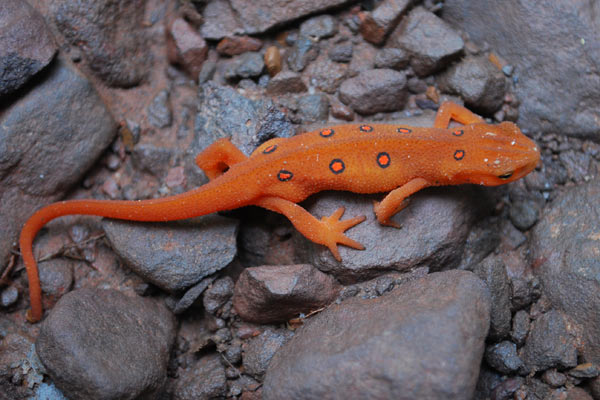 Mortality was 100 percent among Eastern red-spotted newts (Nothophthalmus viridescens) exposed to a fungus from Asia that recently reached Europe, probably carried by salamanders in the pet shop trade. The newt, shown here in its juvenile stage, is a North American native and a popular aquarium pet. Photo by: Nicholas Caruso.