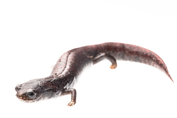 The Finca Chiblac salamander (Bradytriton silus) from the Cuchumatanes mountains of Guatemala. This species is listed as Critically Endangered by the IUCN Red List. Photo by: Robin Moore.