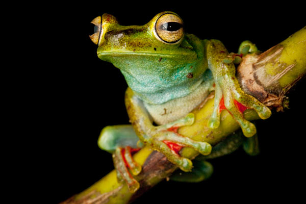 A canal zone treefrog (Hypsiboas rufitelus) in the Chocó of Colombia with a shock of red webbing between the toes. This species is listed as Least Concern. Photo by: Robin Moore.
