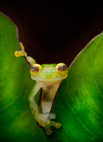 A glass frog, Hyalinobatrachium ruedai, peers through a leaf in the Choco of Colombia as we search for lost frogs. This species is considered Least Concern. Photo by: Robin Moore.