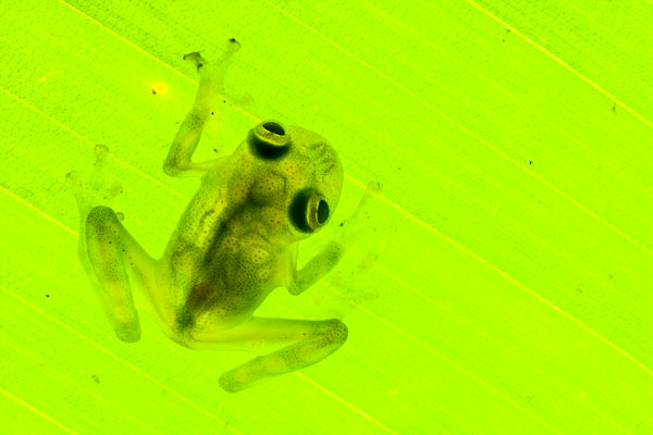 Reticulated glass frog (Hyalinobatrachium valerioi) on a leaf in the Osa Peninsula. Glass frogs are so-named because of their virtually transparent skin. This species is considered Least Concern. Photo by: Robin Moore.