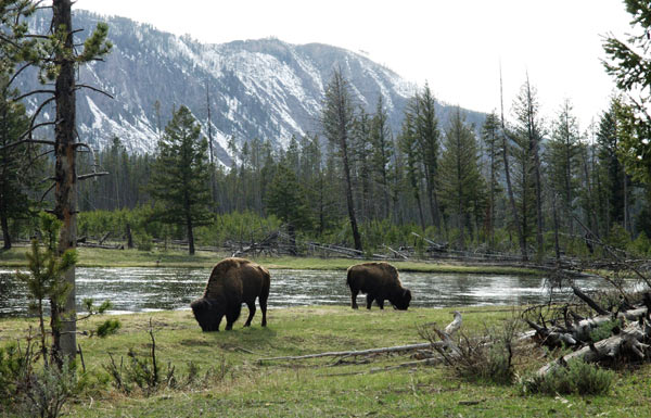 Yellowstone National Park was the world's first modern protected area. Photo by: Julie Larsen Maher © WCS.