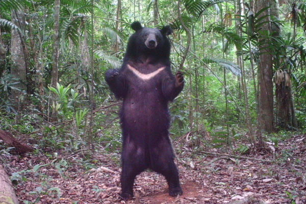 The Asian black bear (Ursus thibetanus), also known as the moon bear, is a key seed dispersal species for Miliusa horsfieldii and other trees in Thailand. This individual was caught on a camera trap. A new study finds that when species like these are hunted out, tropical trees face extinction. Photo by: Dusit Ngoprasert, Conservation Ecology Program, King Mongkut's University of Technology Thonburi.