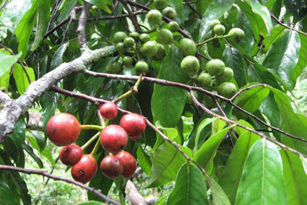 The cherry-sized fruits of the Miliusa tree in Thailand, are eaten  by several species of large mammal, including bears, primates and civet cats. Photo by: Trevor Caughlin, University of Florida.