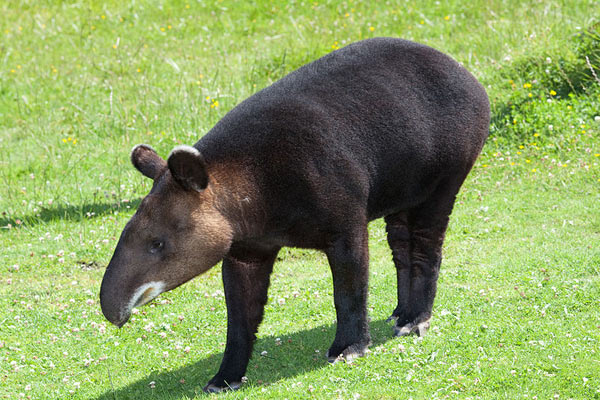 A captive mountain tapir. Recent genetic evidence suggests this species is very closely related to the Brazilian tapir even though it looks very different. Photo by: David Sifry.