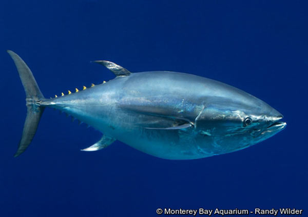 Overfishing has pushed the Pacific bluefin tuna from Least Concern to Vulnerable on the IUCN Red List. Photo by: © Monterey Bay Aquarium - Randy Wilder.