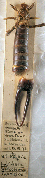 A specimen of the St. Helena giant earwig in the Jamestown Museum. Photo by: Roger S. Key.