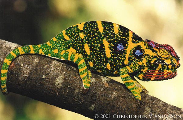 The lesser chameleon (Furcifer minor) is listed as Endangered. This species is only found in Madagascar. Photo by: Christopher V. Anderson.