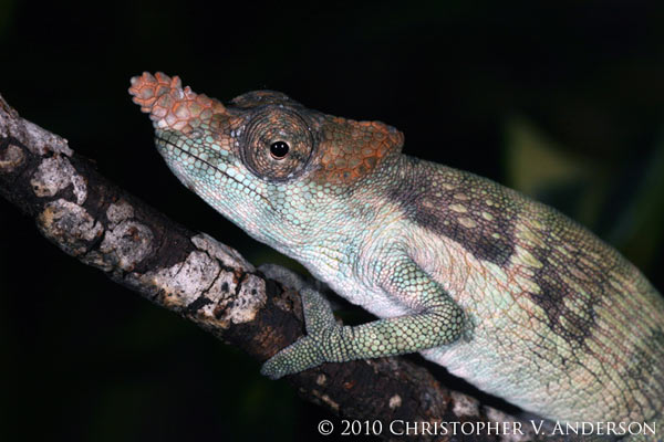 The Usambara flap-nosed chameleon (Kinyongia tenuis), also from Tanzania, is considered Endangered. Photo by: Christopher V. Anderson.