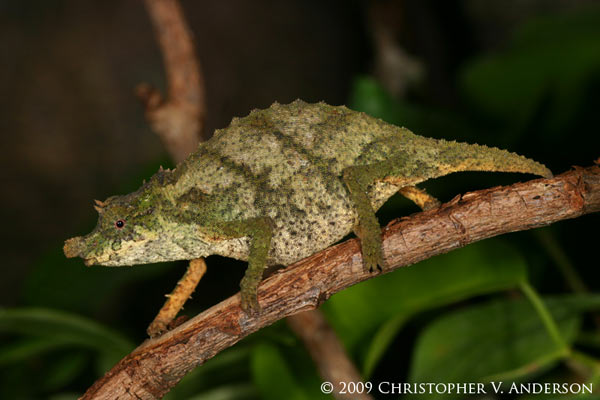 The Nguru spiny pygmy chameleon (Rhampholeon acuminatus) from Tanzania is Critically Endangered . Photo by: Christopher V. Anderson.