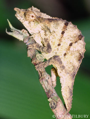 A male Chapman's pygmy chameleon. Photo by: Colin Tilbury.