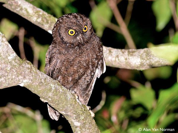 The Anjouan scops owl. Photo by: Alan Van Norman.