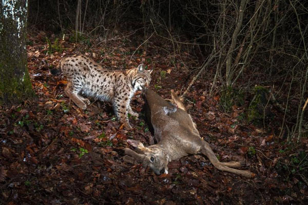 Animal Behaviour winner: European lynx and roe deer, Jura Mountains, Switzerland. Photo by: © Laurent Geslin.