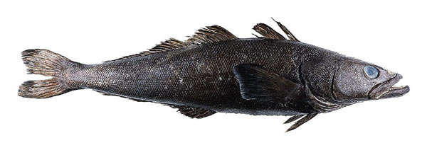 Patagonian toothfish, often sold as Chilean seabass. Photo by: U.S. FDA.