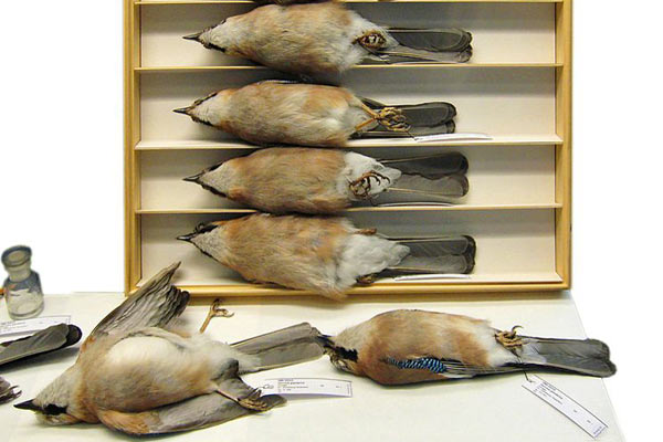 Study skins of Eurasian jays at the Berlin Naturkundemuseum. Photo by: LoKiLeCh.
