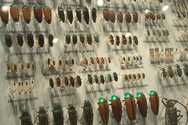 Beetle collection at the Melbourne Museum, Australia. Here, each beetle species is represented by half a dozen individuals.